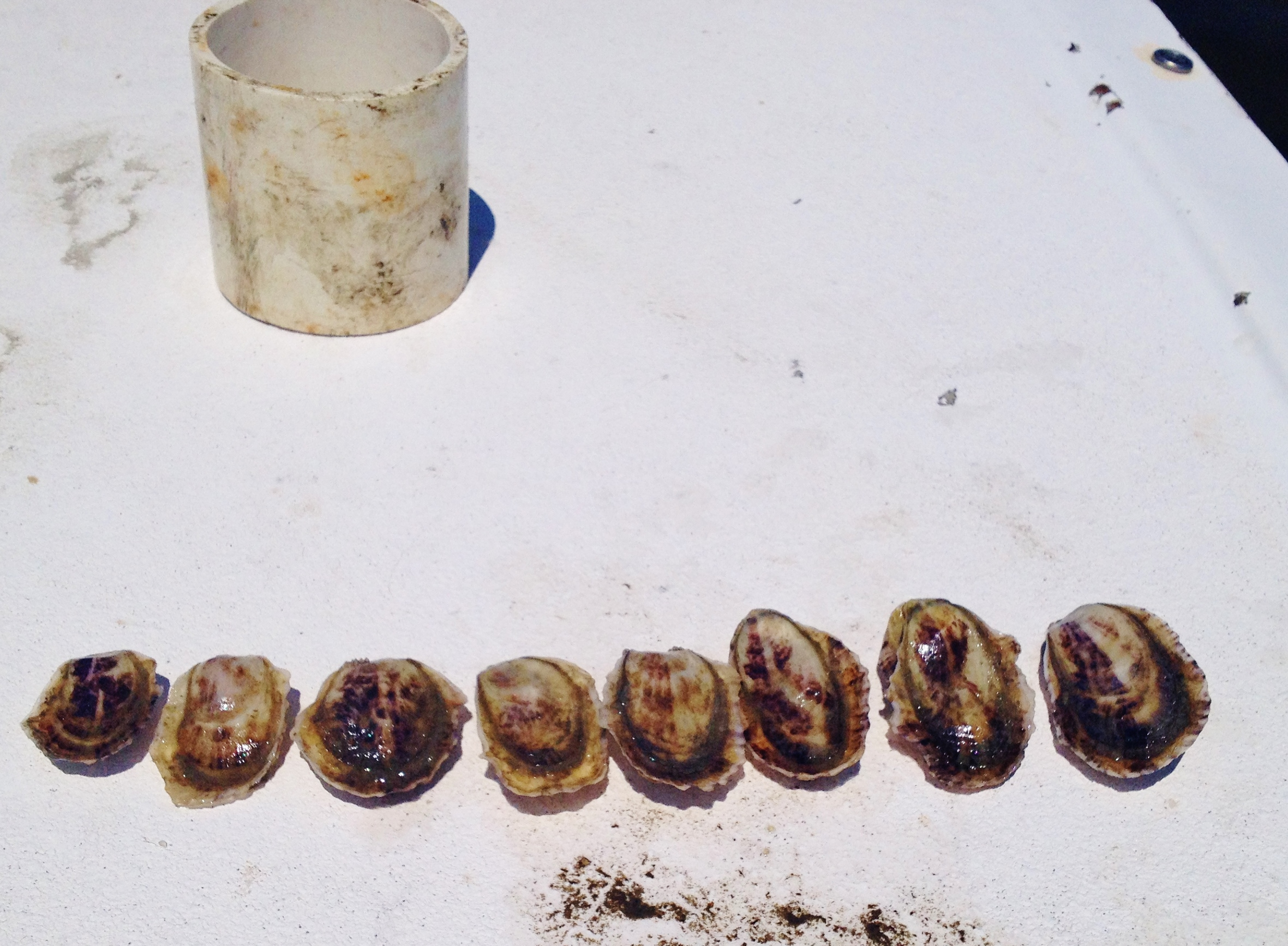 11 month old oysters. While they are all the same age, oysters will grow at different rates from one another.