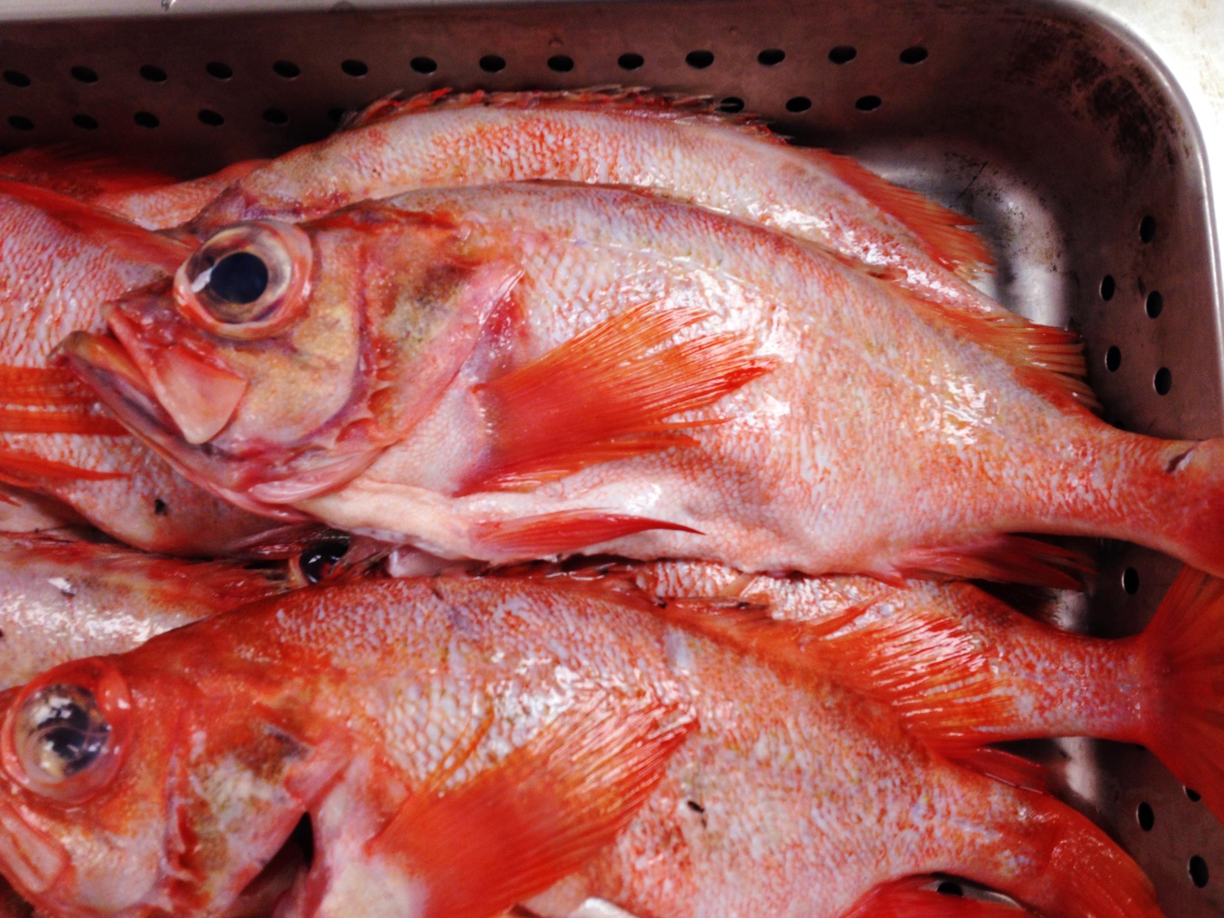 Acadian Redfish (a.k.a. Ocean Perch)