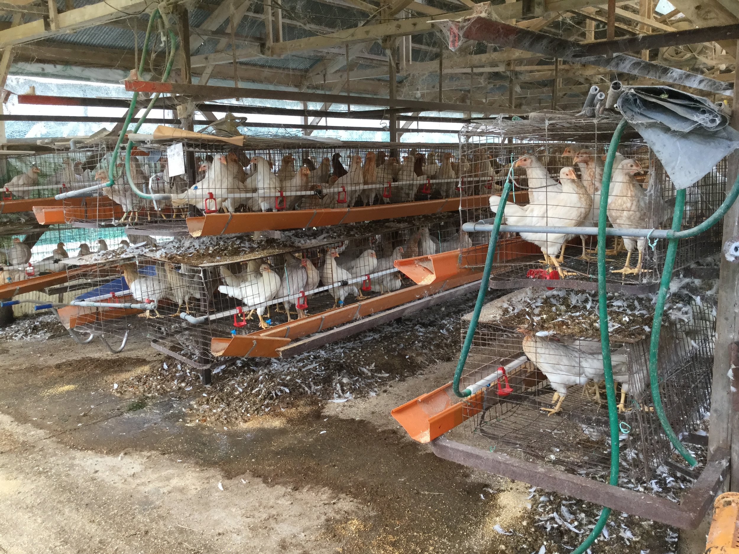 Lots of chickens.  The white ones were stacked two storeys high.