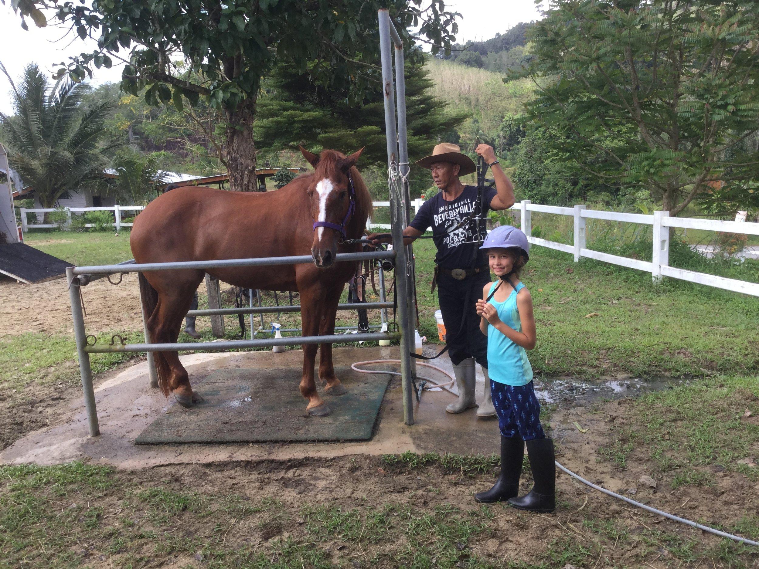 The horse, Bella, being prepared.