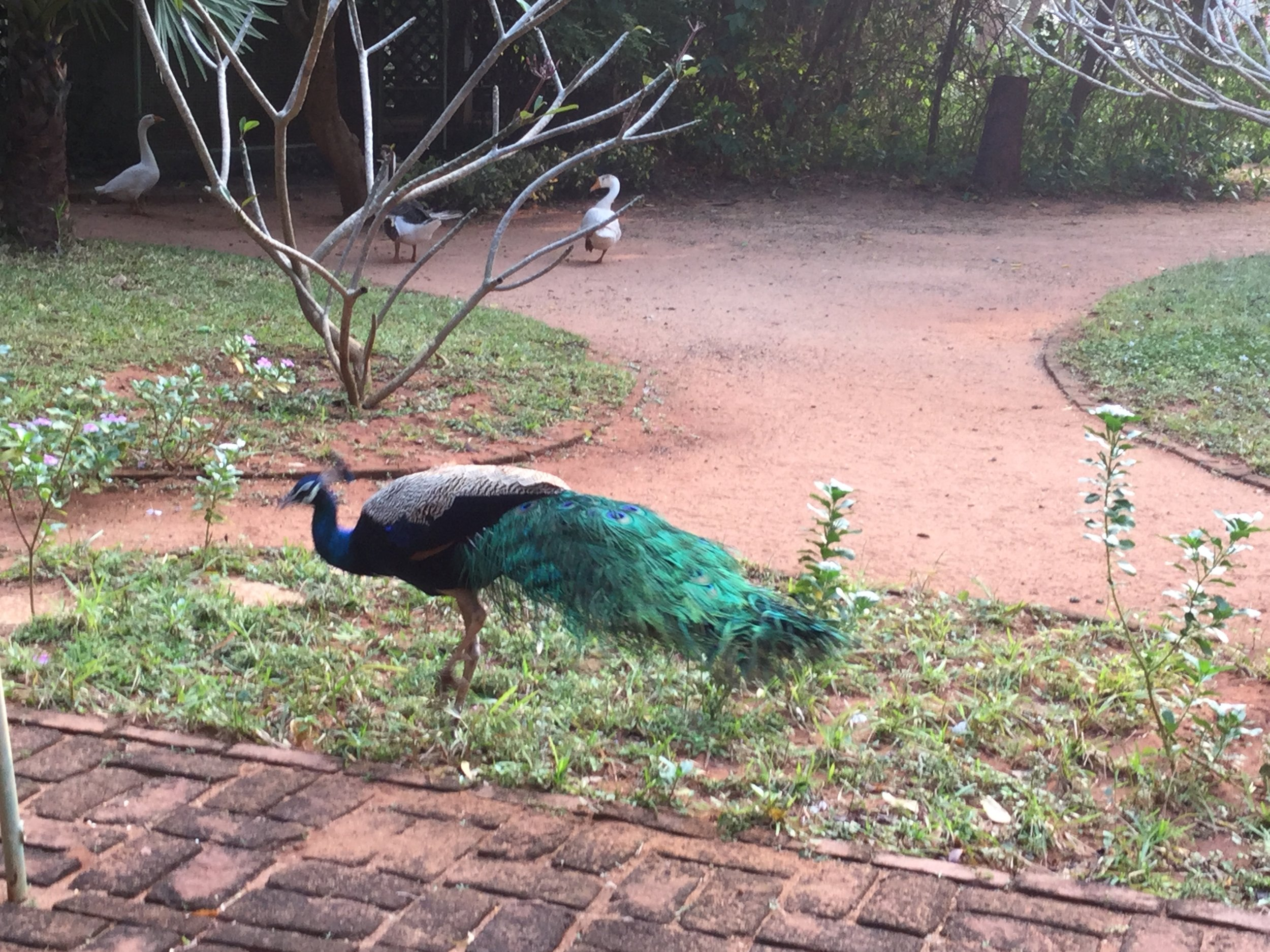 A beautiful one.  The peacock is India's national bird.