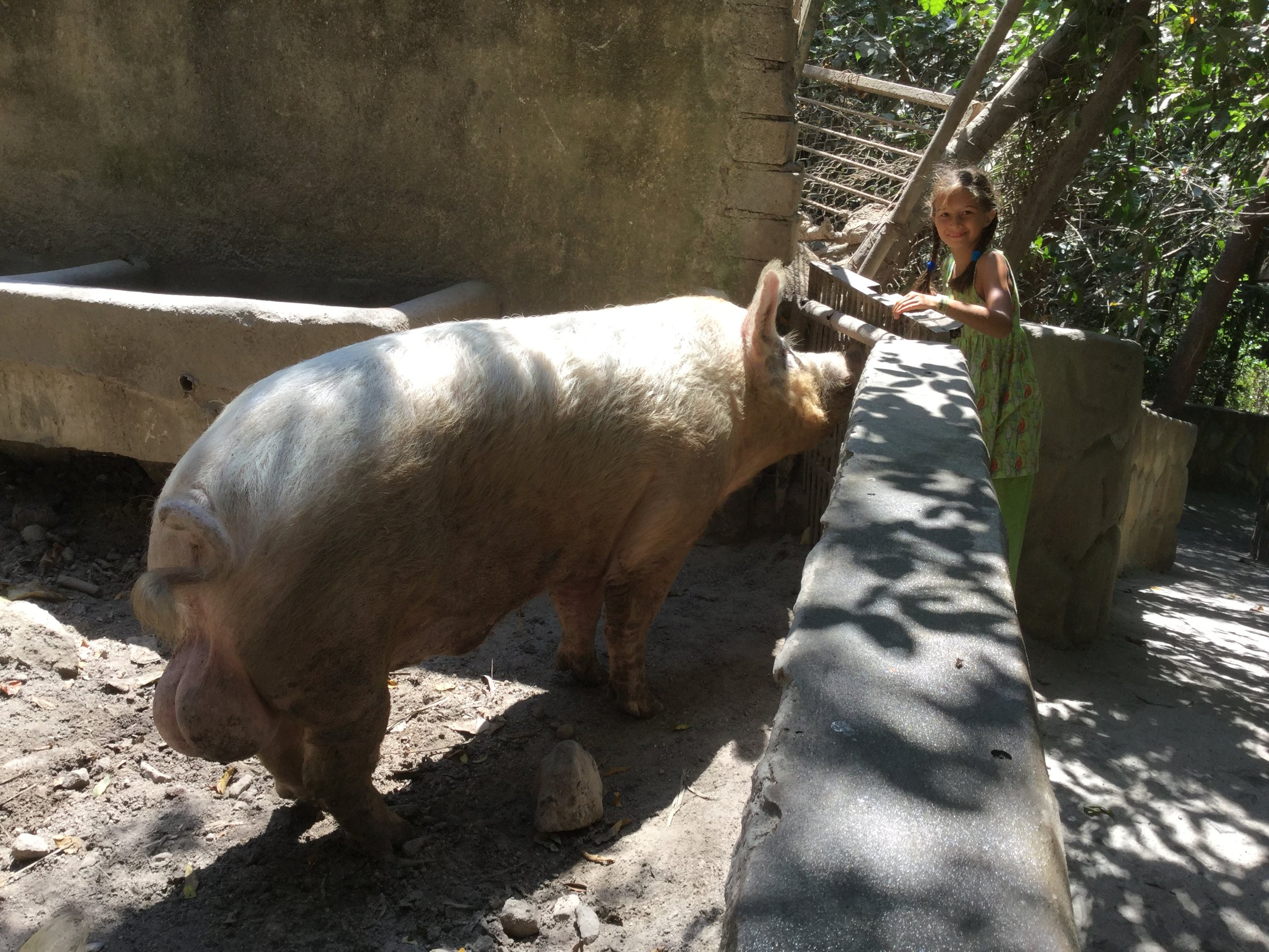 There are also farm animals, like these very large pigs.
