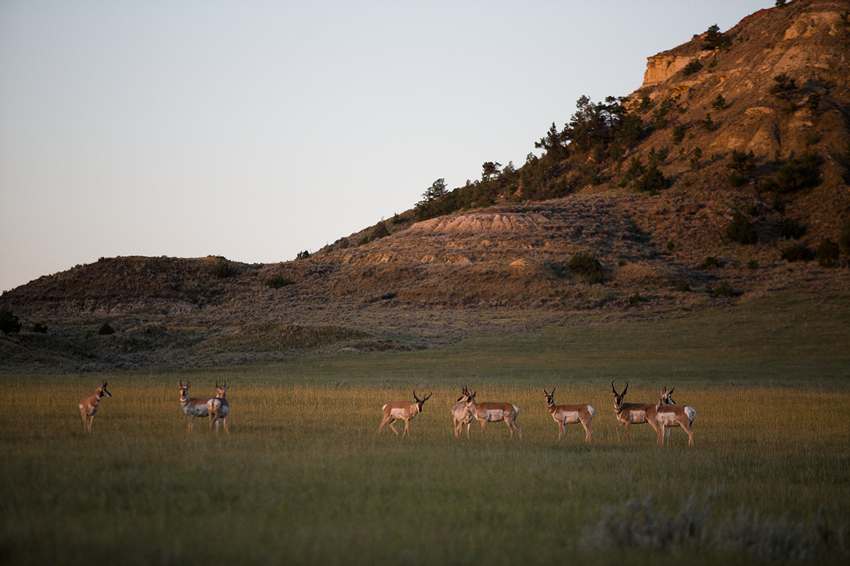 Pronghorn, Twin Hearts Ranch