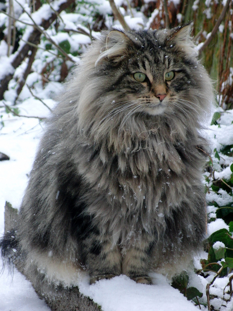 Norwegian Forest Cat, my true spirit animal