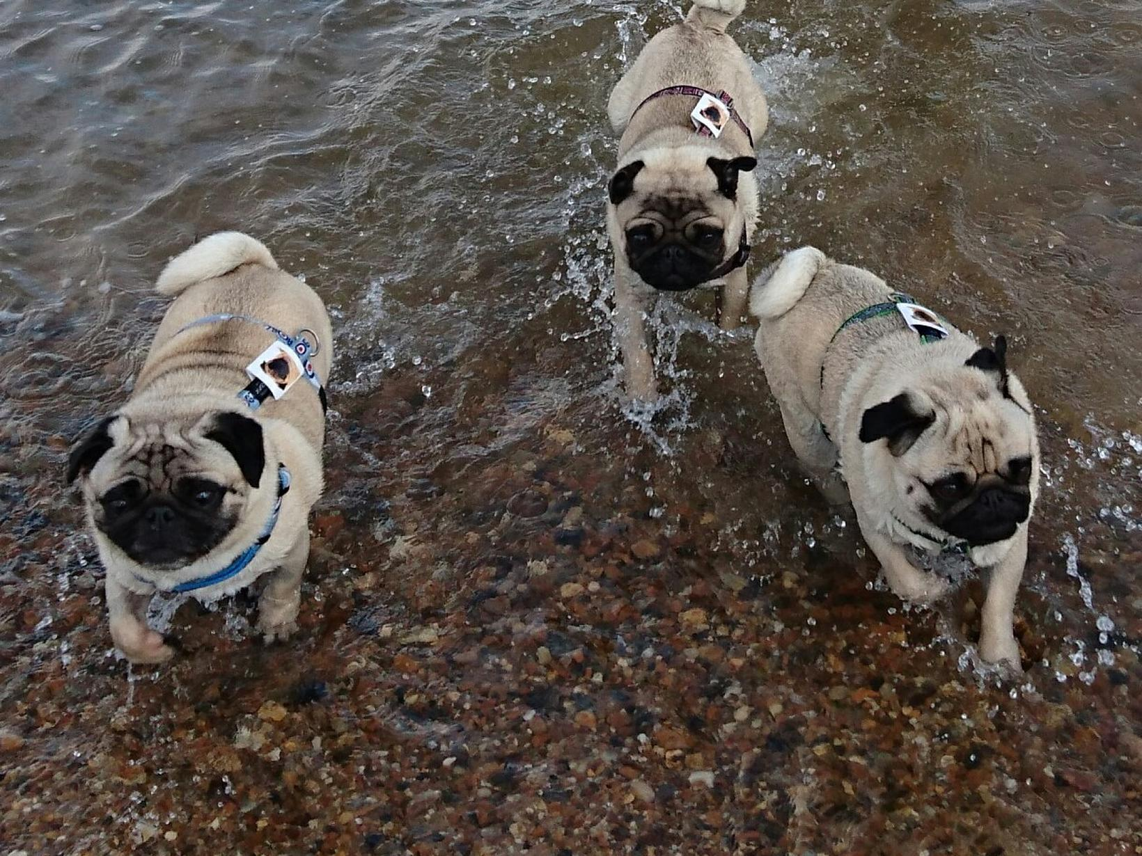 Playful pugs in France