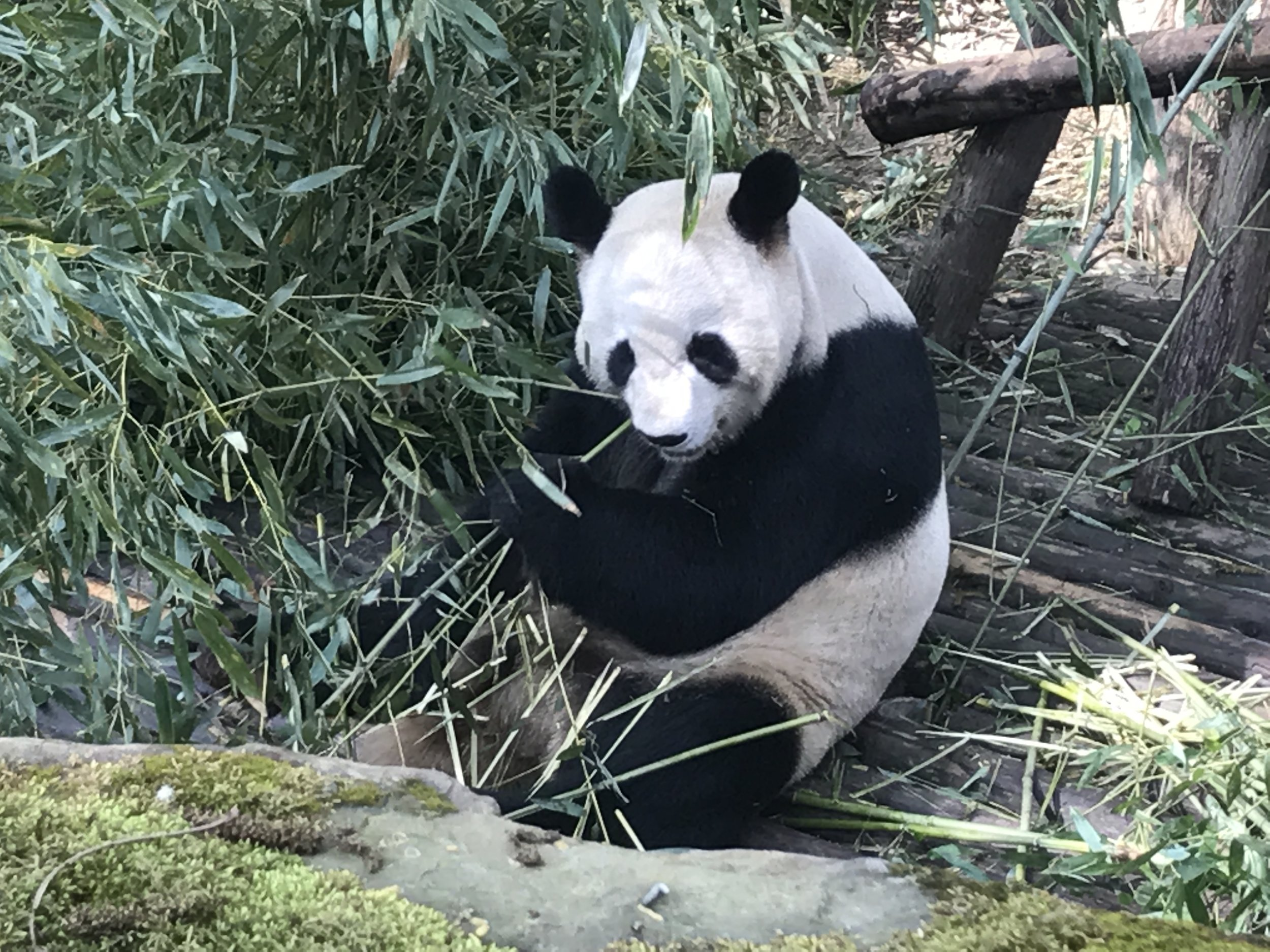 Xiongmao means both panda and 'chest hair' (different tone, but I still find this amusing)