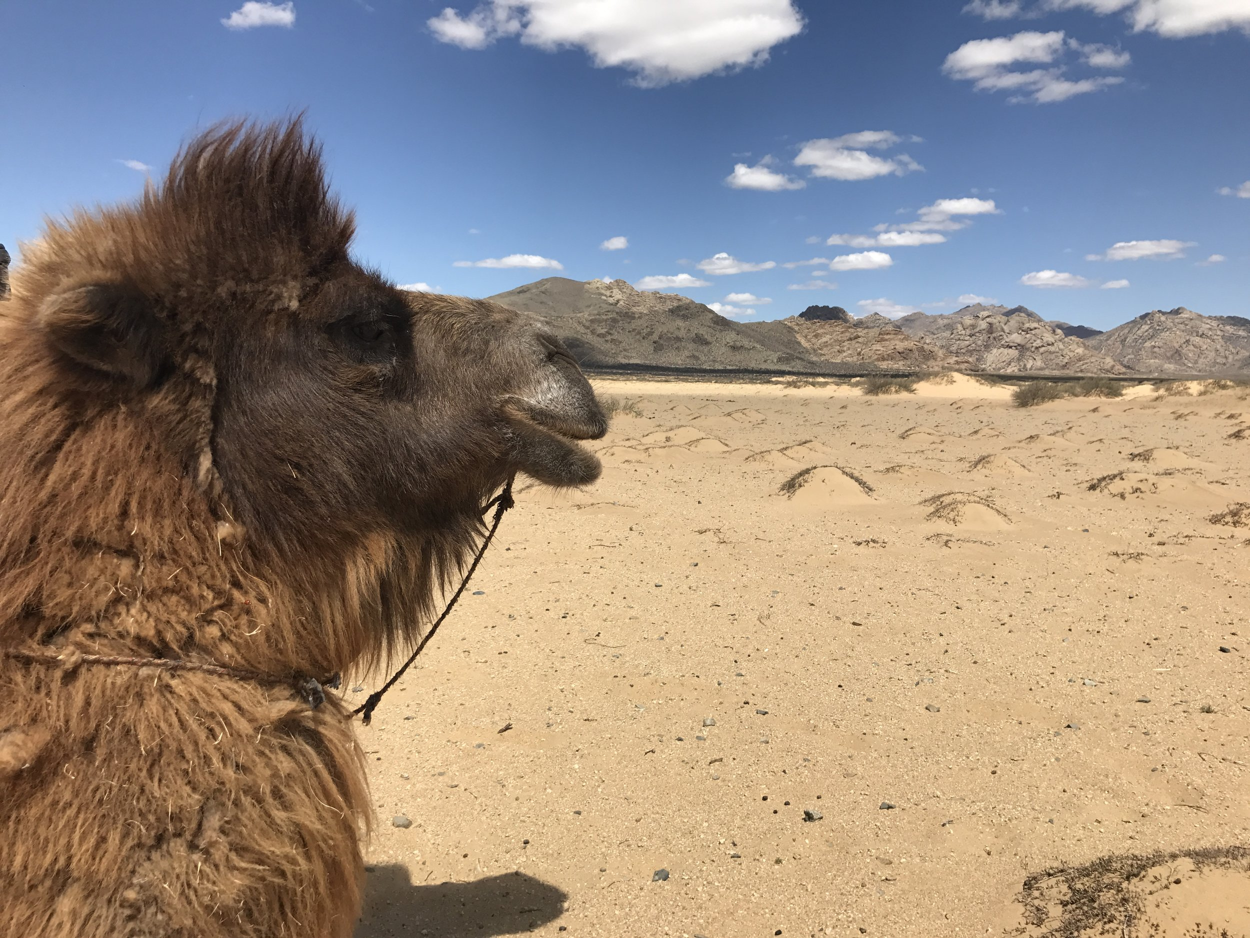 Bactrian camels are strange and wonderful animals!