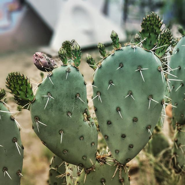 Coming soon: cactus flowers!! All in our beautiful garden. 😍 . . . #hihostel #hostellife #desertgarden #flowers #spring #wanderer #justgo #hi_phxhostel