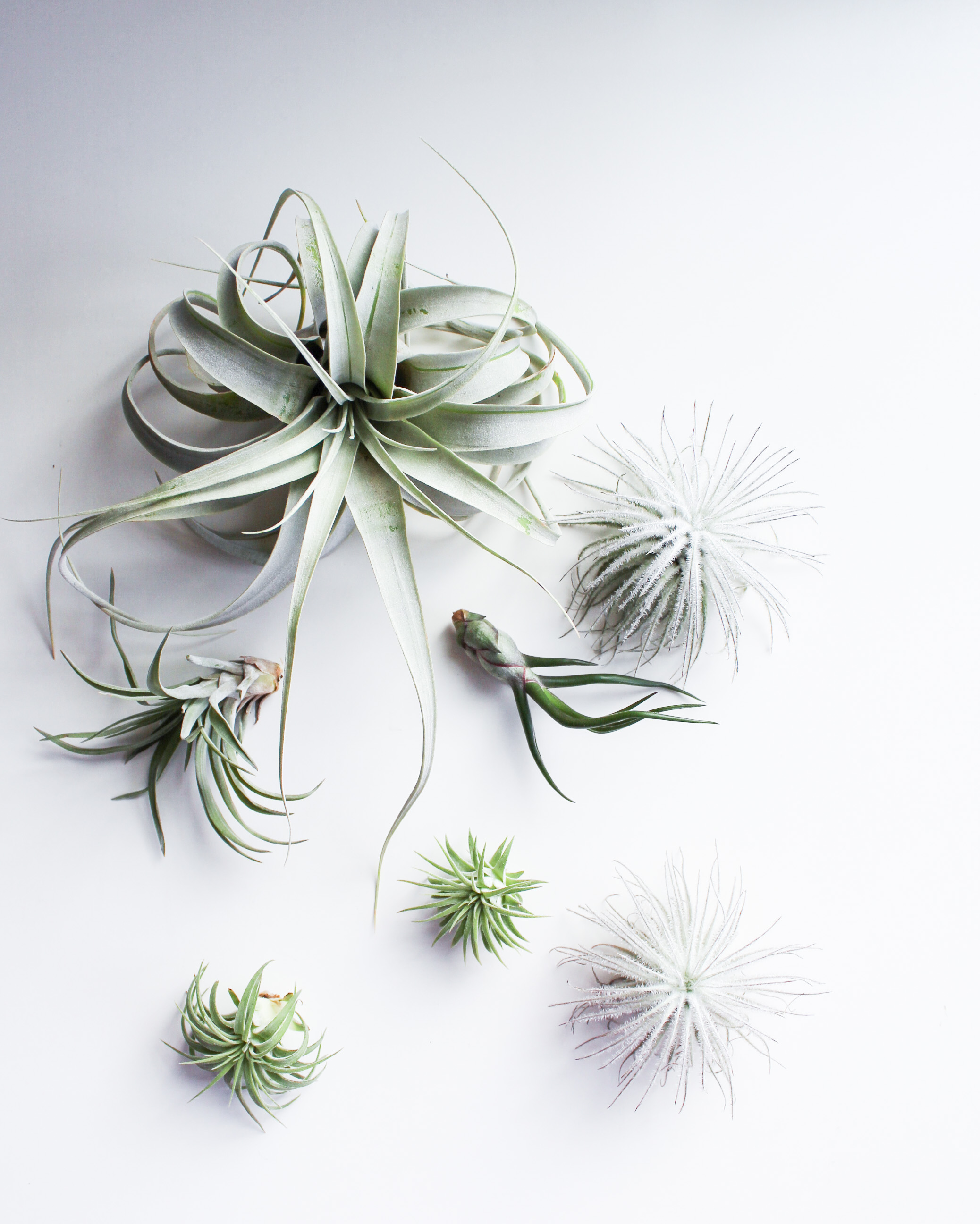 What Are Air Plants Hemleva