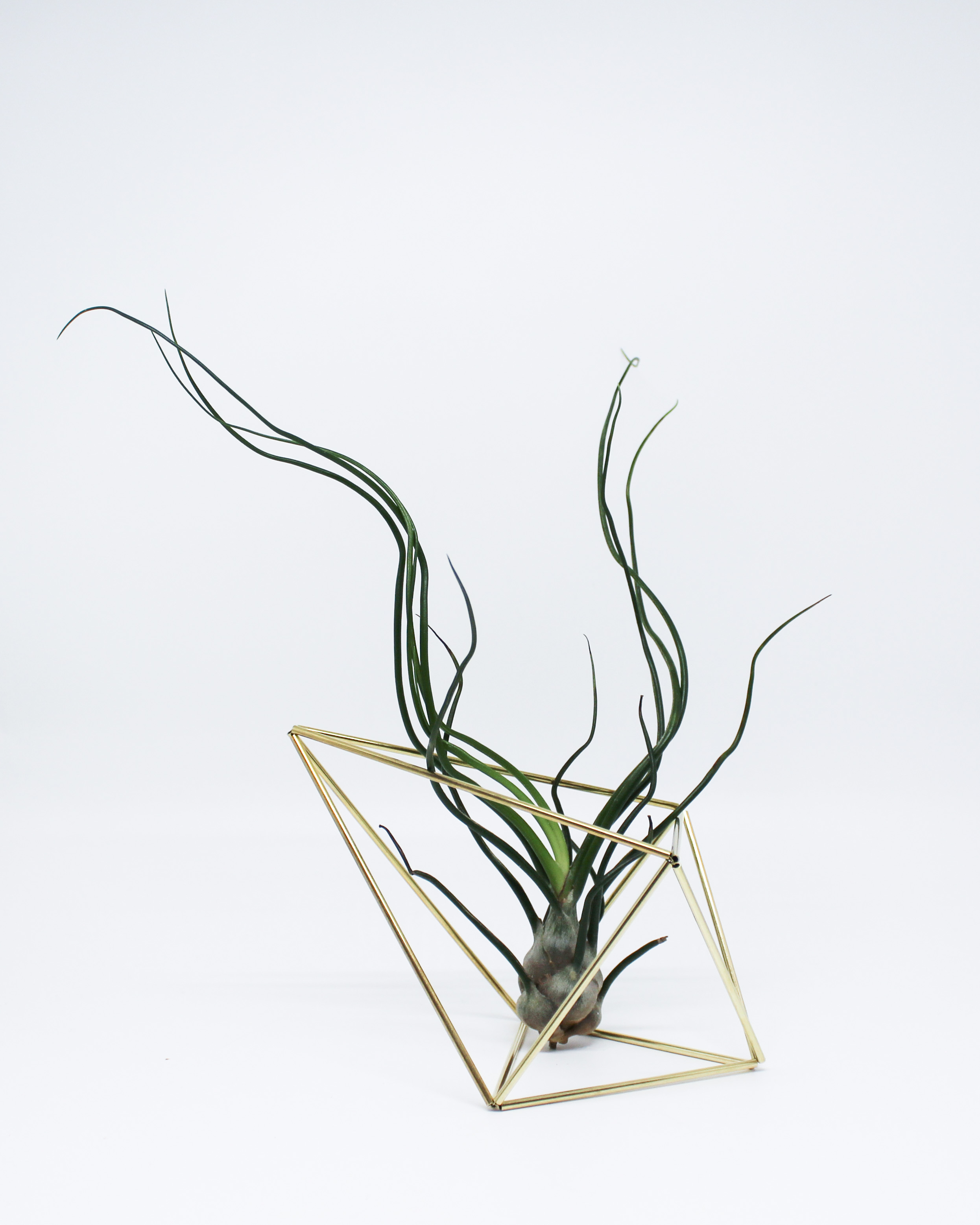 Bulbosa Air Plant + Diamond Himmeli