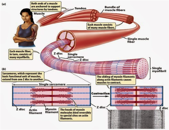 Figure 5: A breakdown of sarcomeric organization involved in muscle contraction.