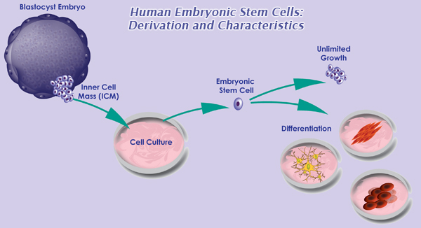 Figure 2. Derivation of embryonic stem cells, a type of pluripotent stem cell. From  UMass Medical School .