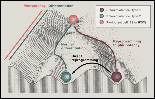 Figure 3. Reprogramming permits the conversion of one cell type to another. From  Srivastava & DeWitt, 2016 .