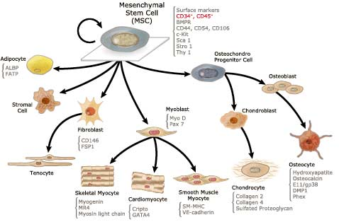 Figure 4. Mesenchymal stem cells are characterized by cell surface markers and their ability to create an array of cell types. How to define these cells has been called into question.  Source .