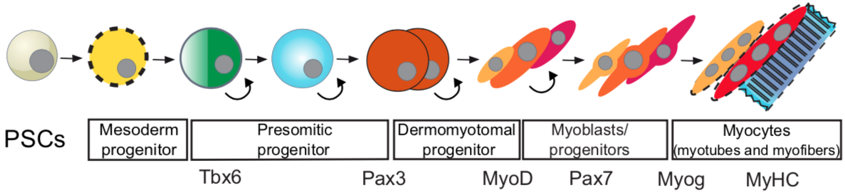 Figure 5. The progression of a pluripotent stem cell down a skeletal muscle lineage. Transcription factors such as Pax3 and Pax7 mark satellite cell populations. From  Chal & Pourquie, 2017 .