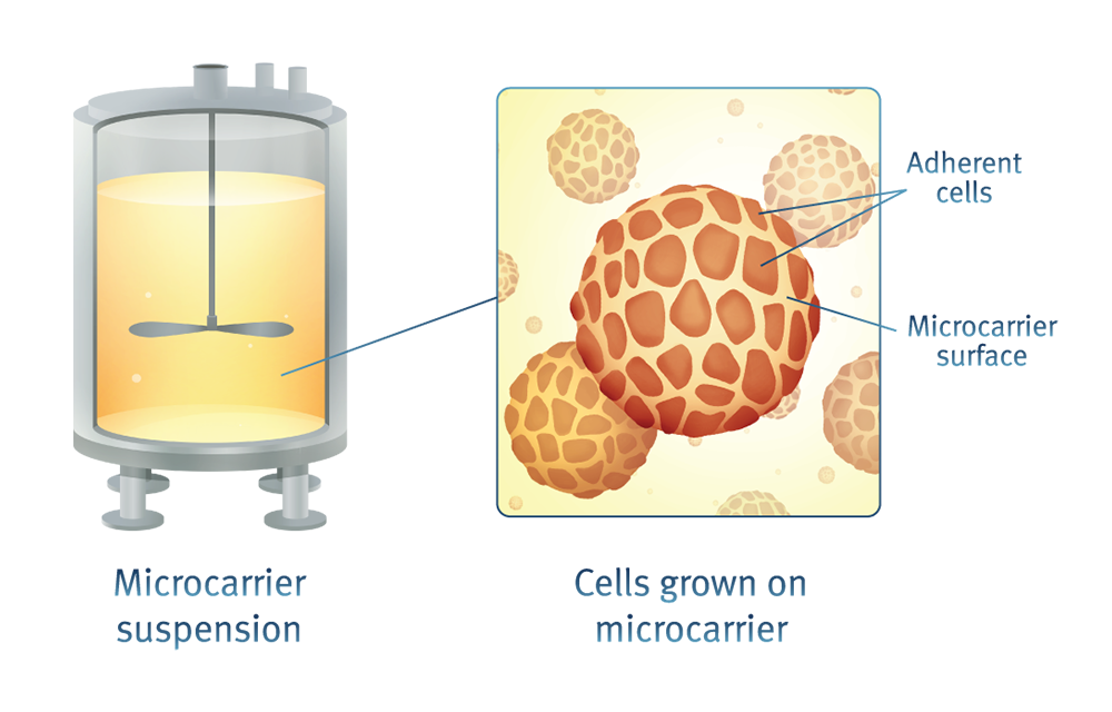 Figure 4. Microcarriers provide a surface for adherent cells to grow within bioreactors.  Image source.