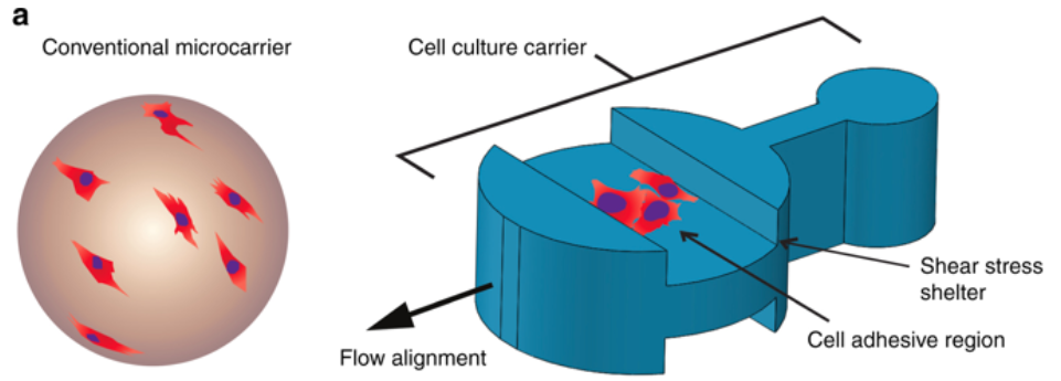 Figure 2. The topography of microcarriers can be engineered to assist in shielding cells from shear stress, cell alignment and polarity, and microcarrier behavior within a bioreactor. From  Wu et al., 2018 .