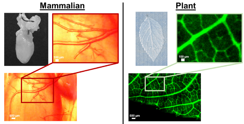 Figure 5. The native vasculature follows the same laws of patterning in both plant and animal tissues. From  Gershlak et al., 2017 .
