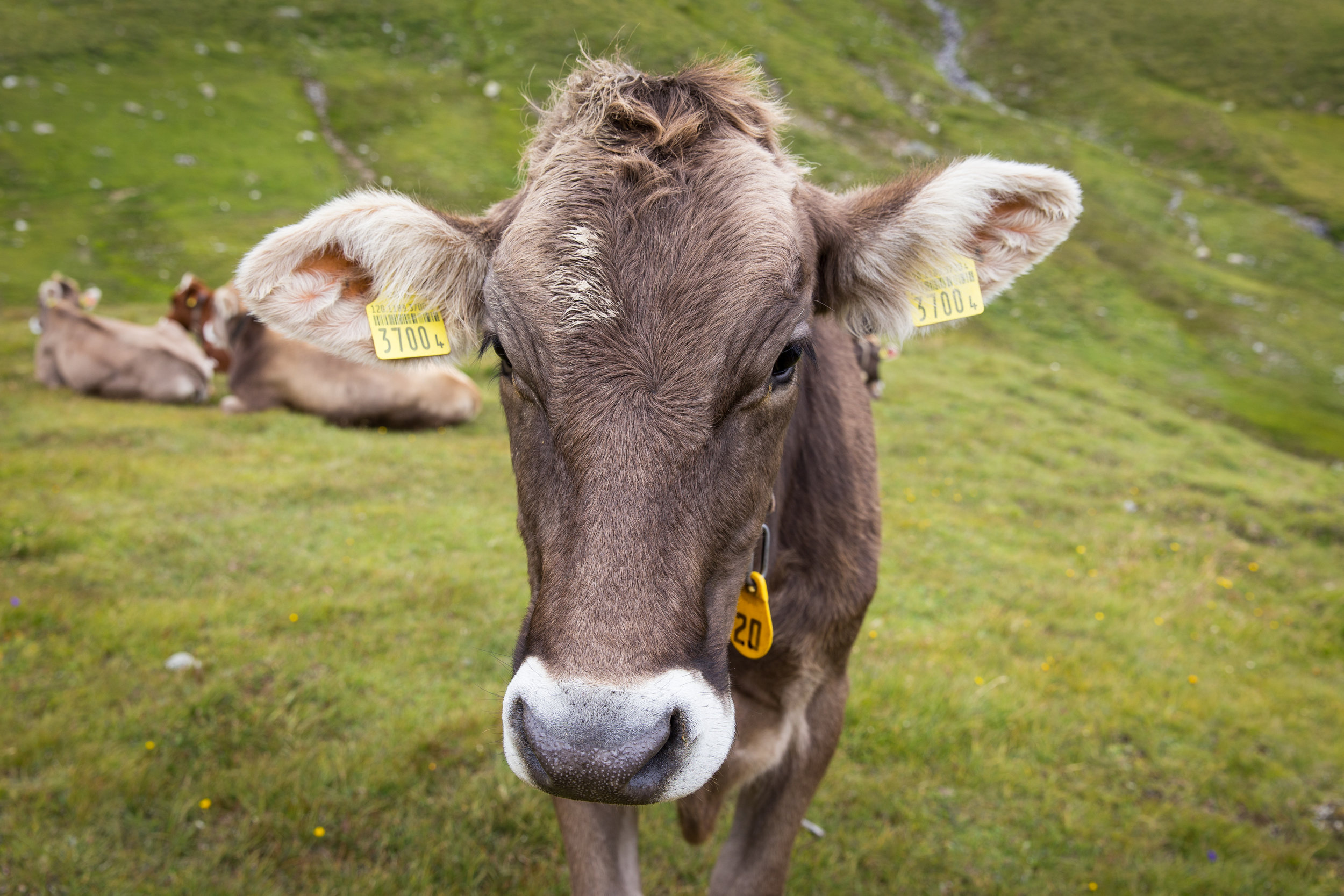Moo (click to enlarge)