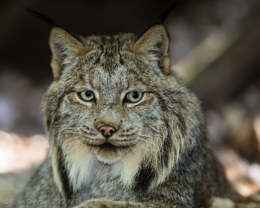 Lynx_1