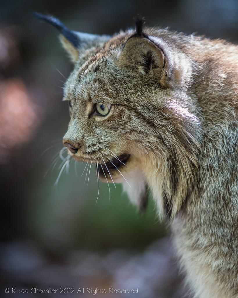 Lynx-2