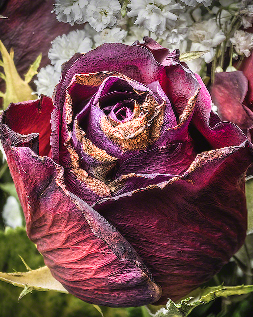 Dying Rose  Piccure
