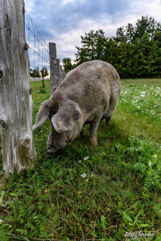 Mistress Pig
