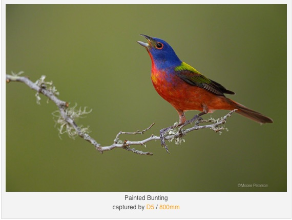 Painted Bunting - Copyright Moose Peterson - used for illustrative purposes only