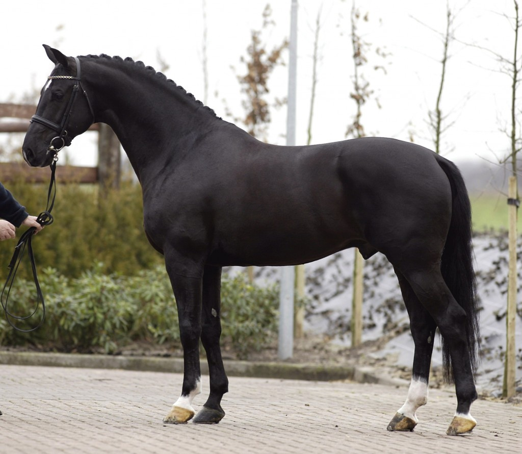 The story about KWPN stallion of the year NEGRO (video with