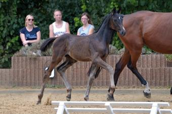 Top price colt by Fürstenball / Belantis - sold for 12.700 euros.