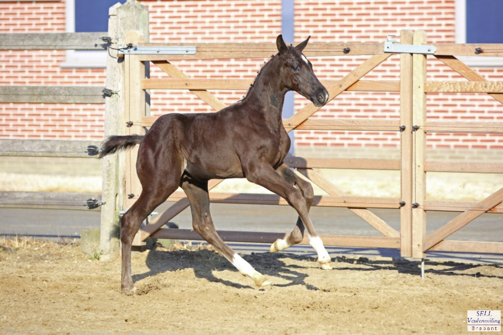 Top price colt by Glock´s Toto Jr / Jazz sold for 14.000 euros.
