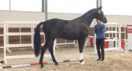 Champion stallion by Bernay / Salut Le Bon