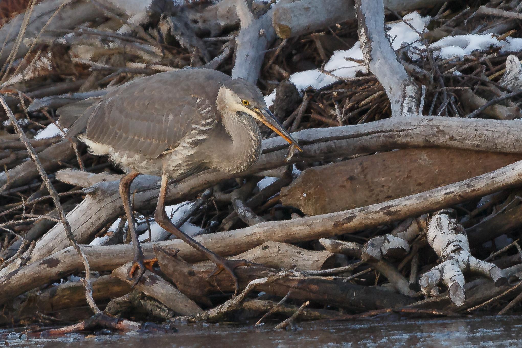 Heron - Image by Gary Detonnancourt