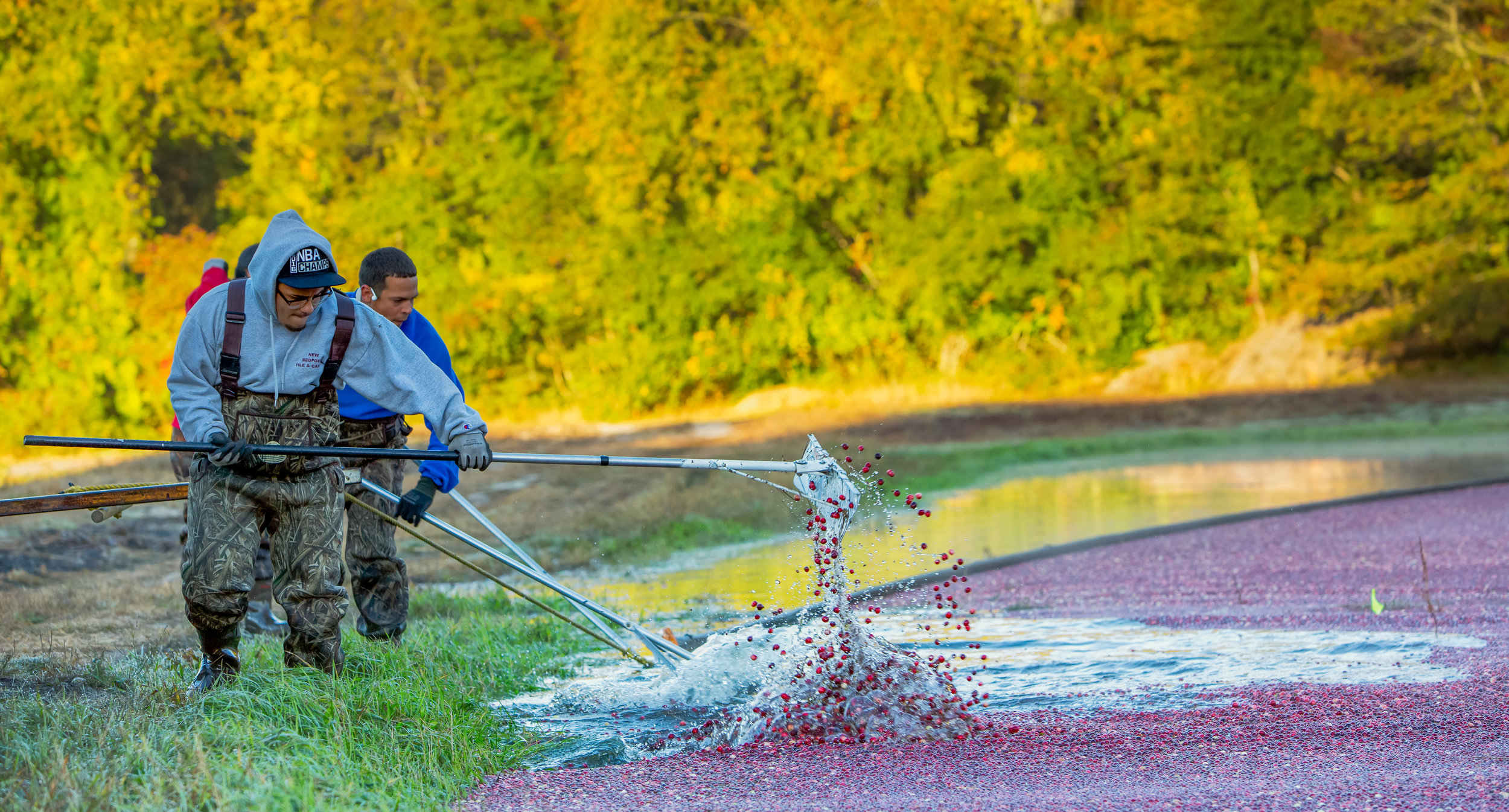First, the workers push the cranberries away from the edges of the bog, while a truck pull a rubber strip around the cranberries.