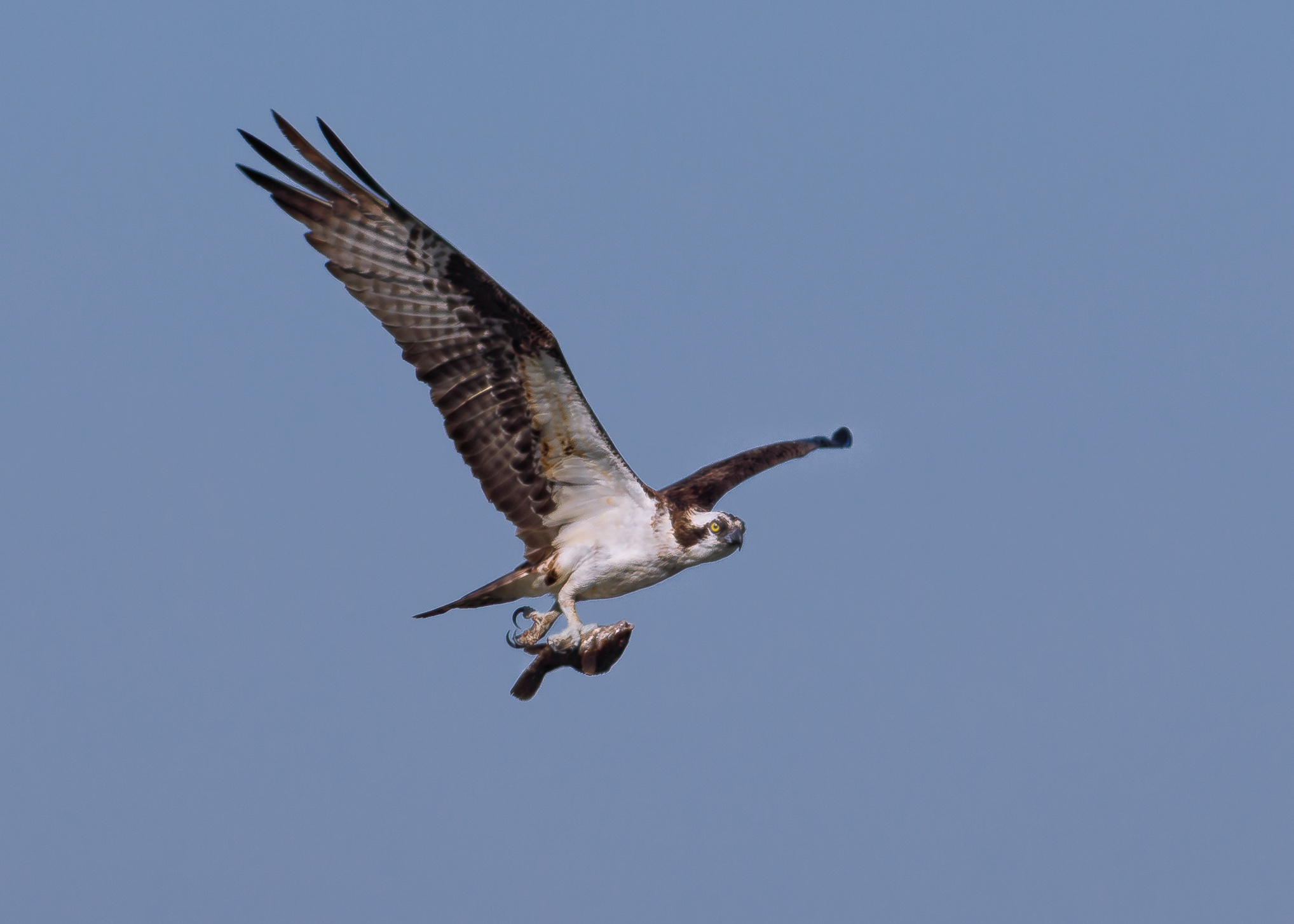 osprey nest in Middletown-0666-Edit.jpg