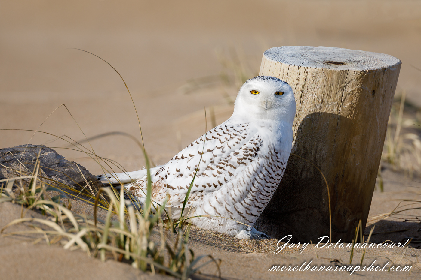 Snowy Owl 12 2017-0794-Edit.jpg