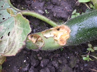 The last of the (inherited) courgettes seem to have been popular with our scurry of field mice!