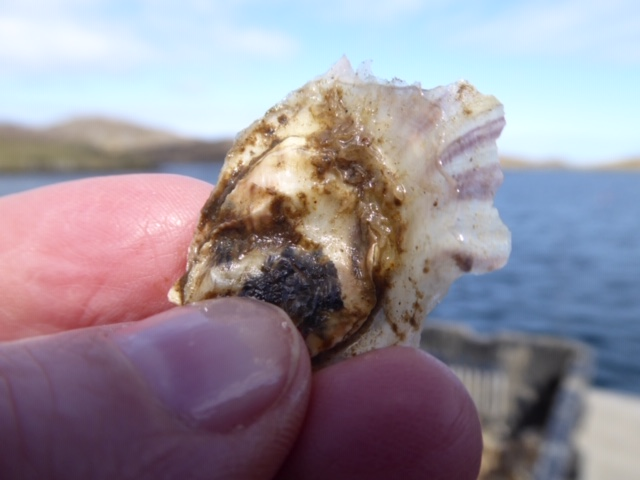 They grow very slowly in the deep, cold Atlantic waters off Barra, the most westerly inhabited island of the Outer Hebrides, and the most remote in the UK.