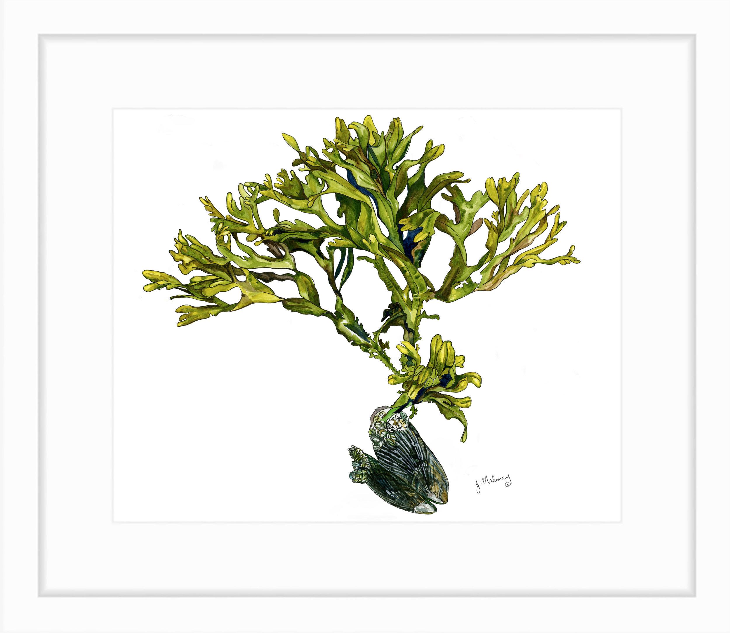 Seaweed_JMaloney.jpg