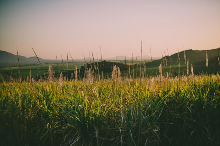 young sugar cane field.jpg