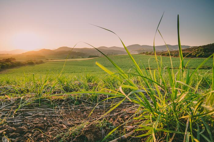 young sugarcane.jpg