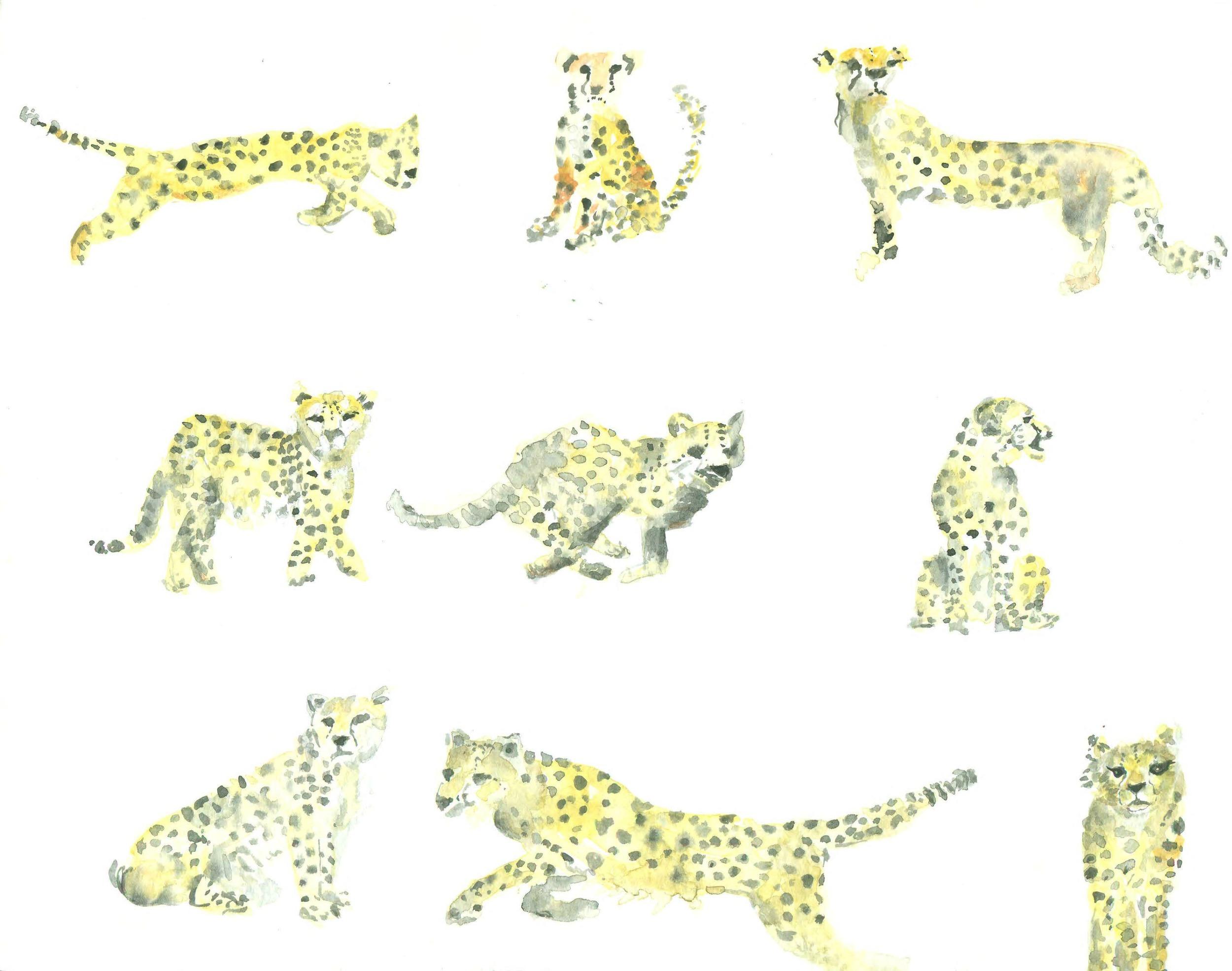Cheetahs 777.jpg