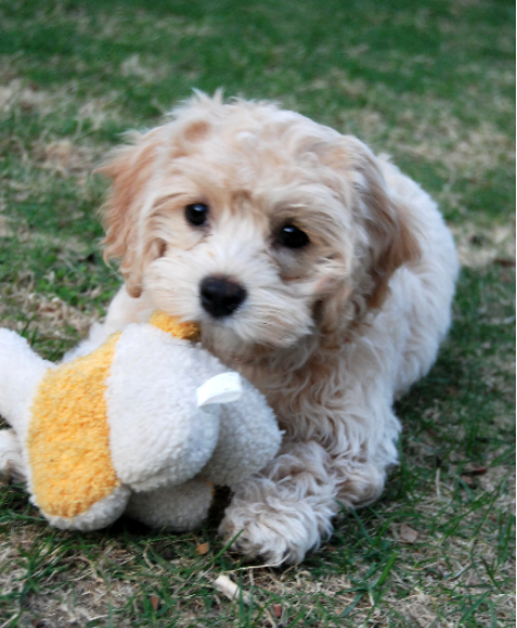 Ruby Cavachon Puppy Review Foxglove Farm