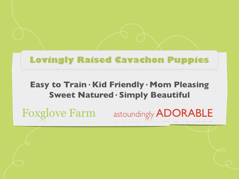 Cavapoo and Cavachon Puppy Banner