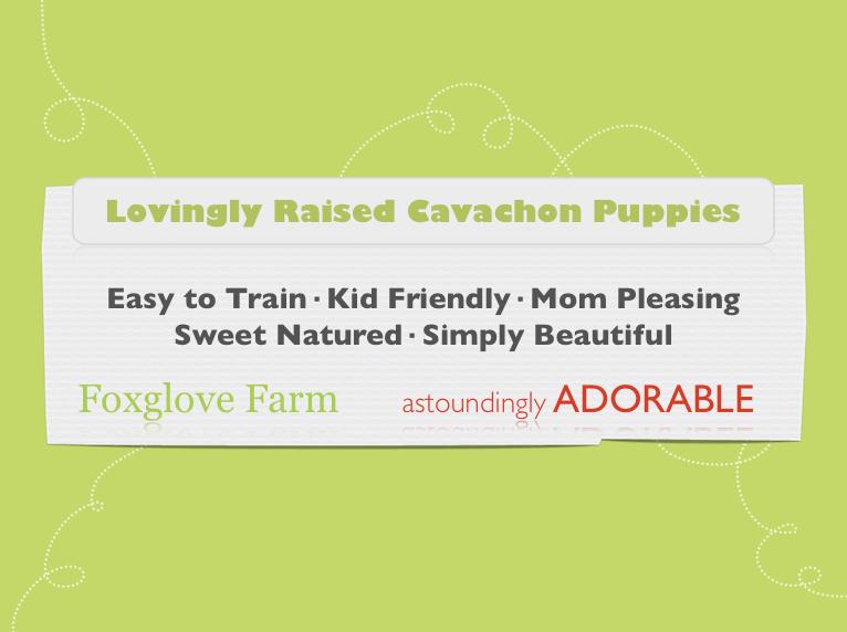 Cavachon puppies for sale by Foxglove Farm | Cavachon | Cavapoo