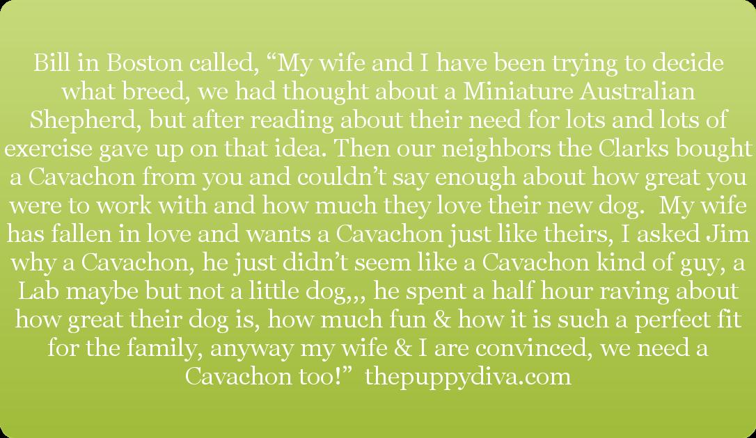 Cavachon Review on thepuppydiva