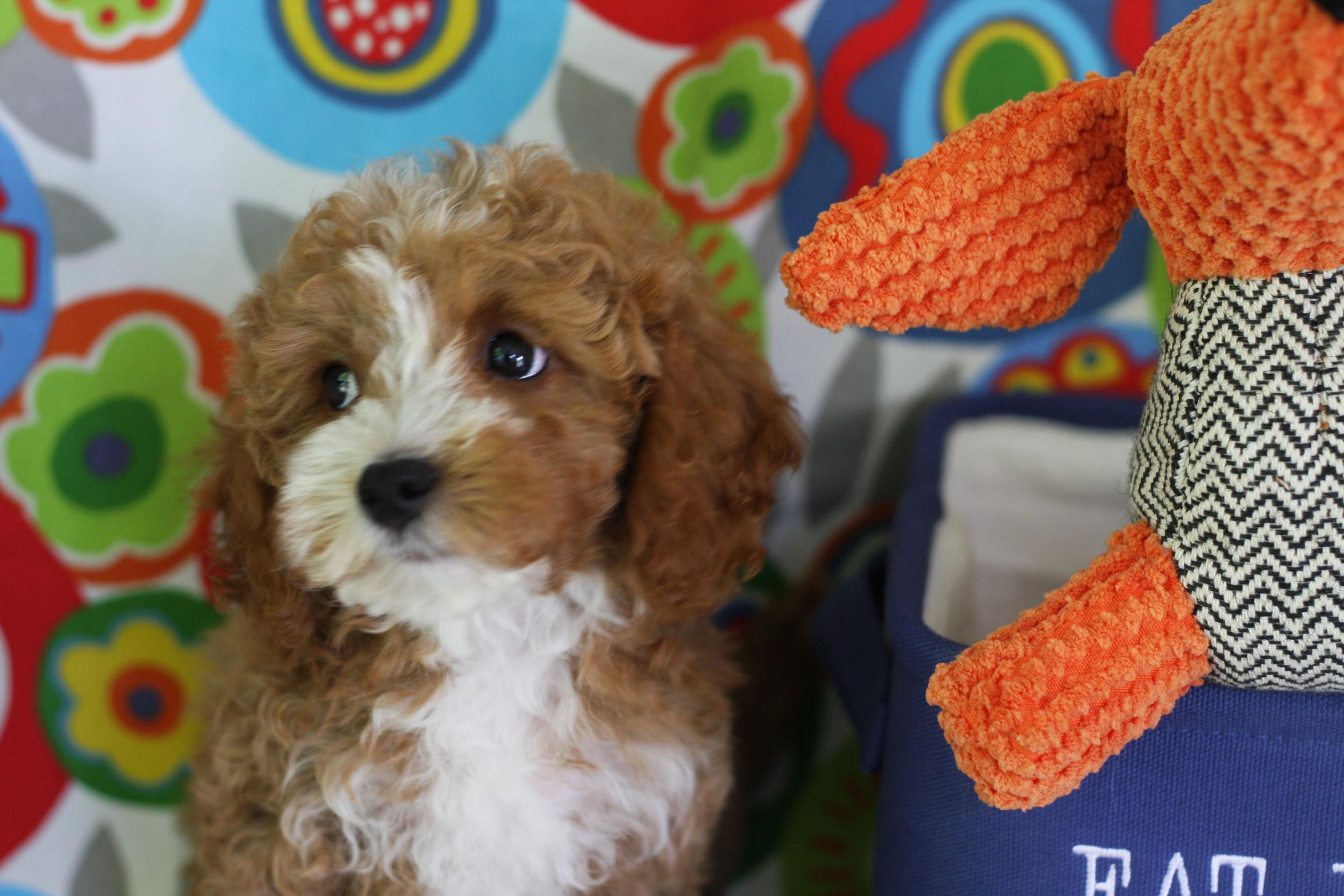 Cavapoochon puppy from Foxglove Farm