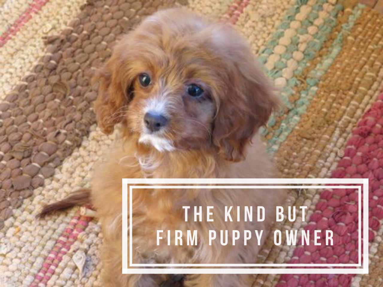 Ruby Cavapoo Puppy