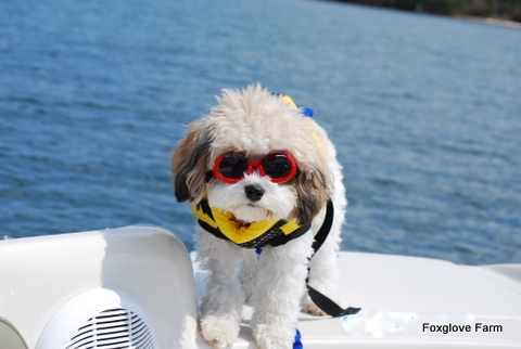 Cavachons love the water and swimming