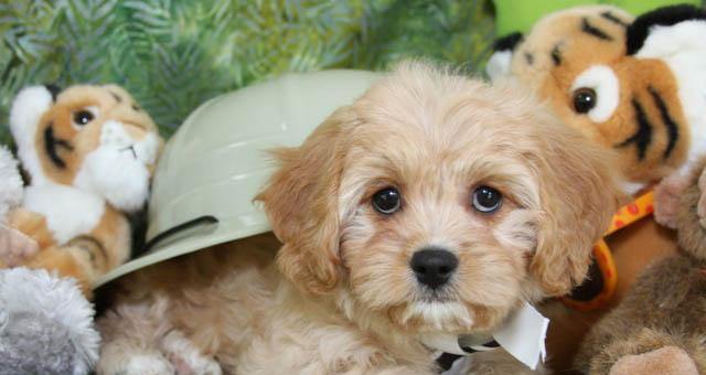 Ruby Cavachon Puppy